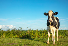 A Black And White Cow In The Field Under A Blue Sky And A Straight Horizon.