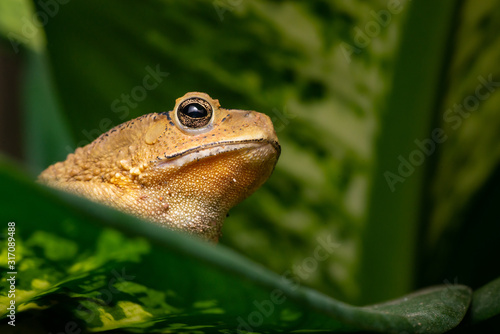 Photo Asian black-spined, black-spectacled, common Sunda and Javanese toad (Chordata,