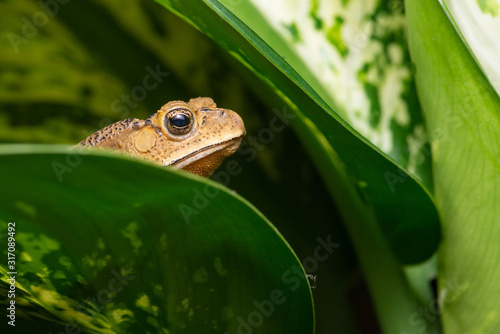 Asian black-spined, black-spectacled, common Sunda and Javanese toad (Chordata, Wallpaper Mural