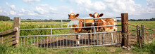 Two Cows Behind An Iron Gate, ...