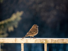 Female House Finch Bird On Rus...