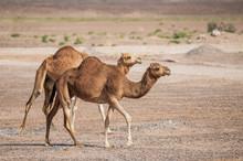 Two Arabian Camels Walking Syn...