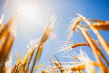 Barley Field In Summer In Sunl...