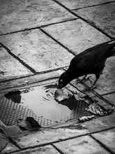 Thirsty Crow Drinking From A P...