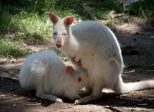The Albino Wallaby Is Feeding ...