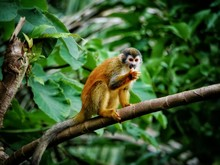Beautiful Squirrel Monkey Sitt...