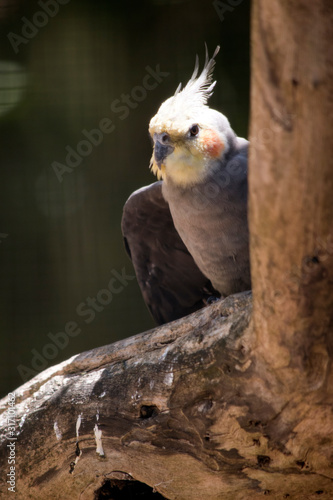 the cockatiel just landed on the tree branch Fototapet