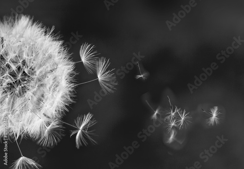White dandelion on blue