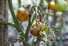 Omato Plant Has Got Ill With Phytophthora (Phytophthora Infestans). Tomatoes Has Got Sick By Late Blight, Agriculture