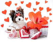 Puppy  Biewer Yorkshire Terrier