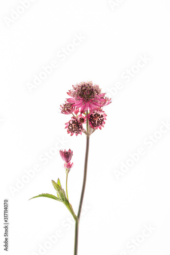 astrantia flowers on the white background Canvas Print