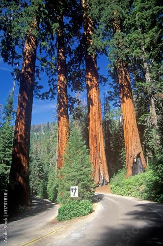 Giant Sequoia Trees, Sequoia National Park, California Wallpaper Mural