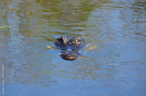 An alligator floating on top of the water in Everglades, Florida, U Canvas Print