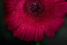 Gerbera Daisy - Close Up