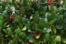 Wintergreen (Gaultheria Procumbens) With Red Berries. It Is A Small, Low-growing Shrub, In The Family Ericaceae.