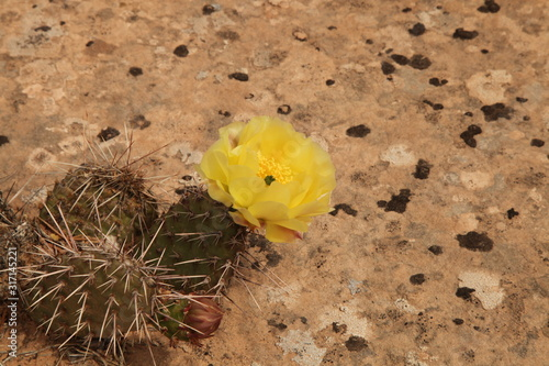 Yellow flowering Cactus on rock in Utah