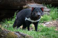 Tasmanian Devil In Woodland Environment