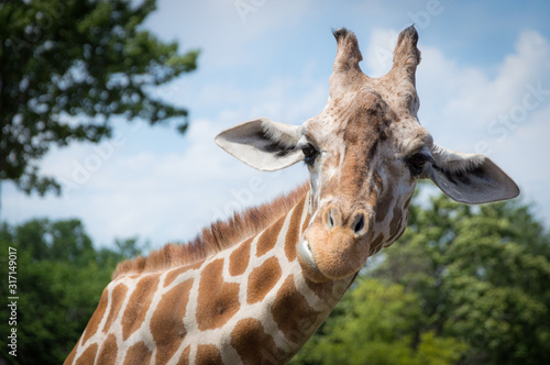 Photo Curious giraffe looks at you head shot close up portrait.