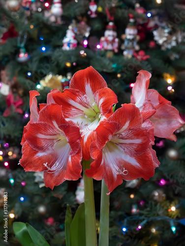 Photo Red amaryllis on Christmas tree background