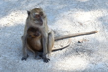 A Mother Monkey Carries Her Ba...