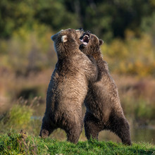 Two Brown Bears Play Fighting ...