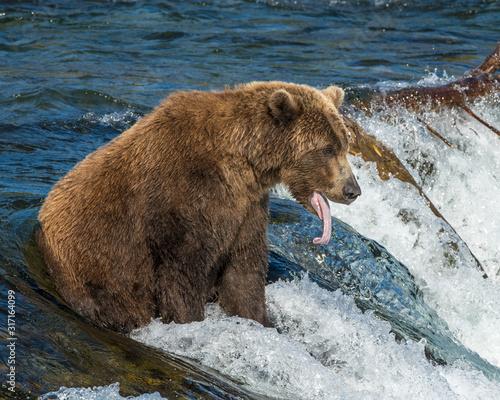 Brown Bear fishing for Salmon in Katmai National park