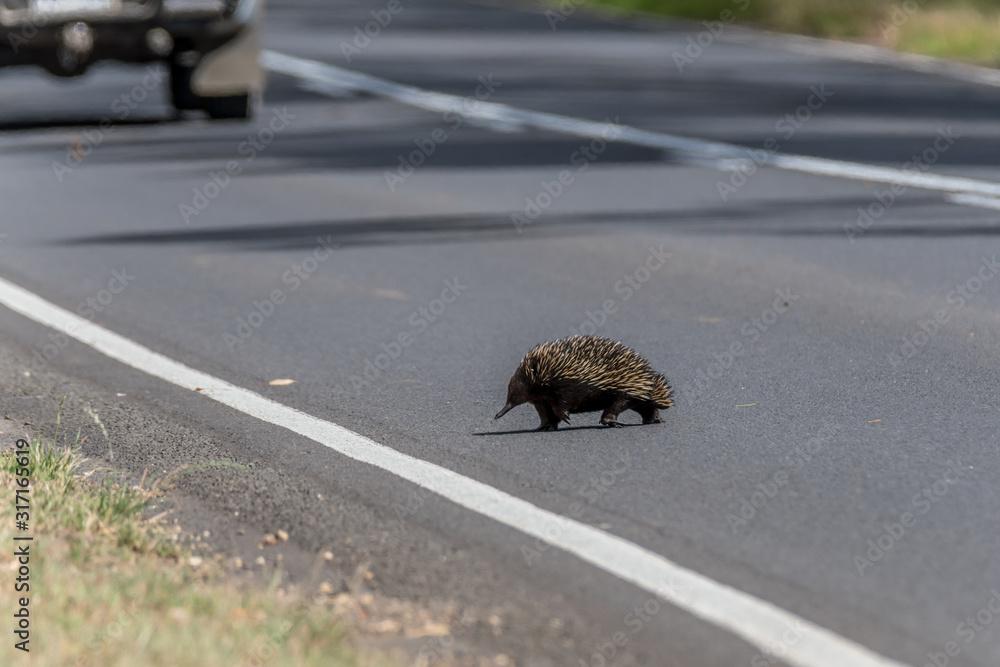 Fototapeta Echidna crossing road in front of car at Portland, SW Victoria
