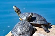 Pair Of Turtles Sitting On A R...