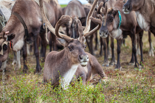 The extreme north,  Yamal,   reindeer in Tundra , Deer harness with reindeer, pa Fotobehang