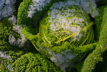 Wilting Green Savoy Cabbage Is...