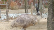 Furry Brown Ostrich Is Standin...