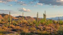 Saguaros Cactus At Sunset In S...