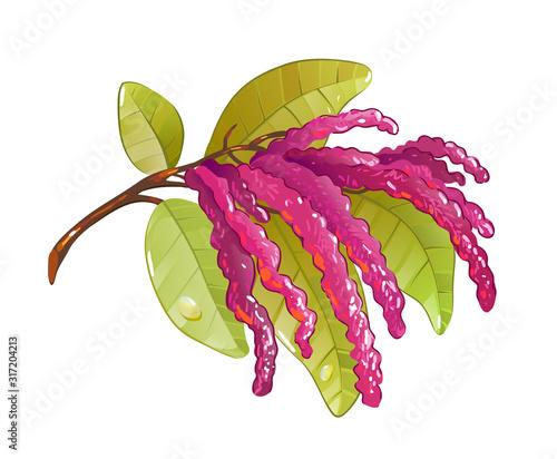 amaranth, tea additive Canvas Print