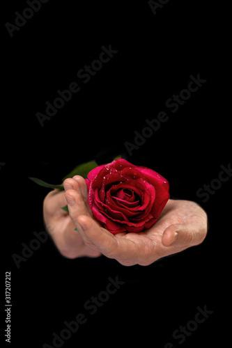 secret admirer, male hands holding rose on black background Canvas Print