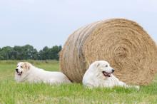 Two Livestock Guardian Dog, Gr...