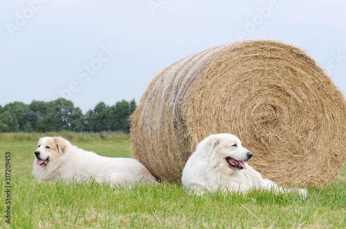 Slika na platnu Two livestock guardian dog, Great Pyrenees, lying on stubble field