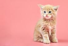 Maine Coon Cream Kitten