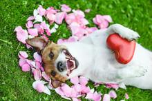 Happy Dog Lying On Rose Flower...