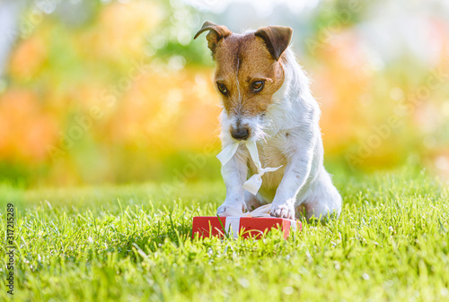 Embarrassed naughty dog destroying Valentine day gift box Fotobehang