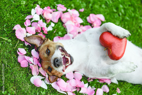 Happy dog lying on rose flower petals holding heart in paws as love and care concept
