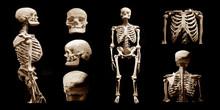Human Skeleton Partner Anatomi...