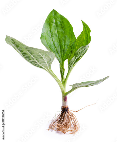 Great plantain root, plantago major medicinal plant isolated on white background Fototapeta