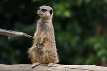 Funny Meerkat Sitting On A Tre...
