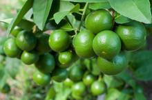 Bushy Green Lime Lemon Fruits ...