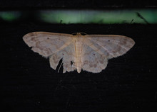 Large White Night Moth On A Bl...