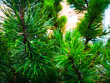 Lush Pine Branches And Buds In...