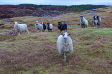 Wild Sheep And Lambs In Norway