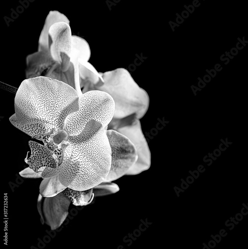 Fototapeta white orchid on black background - monochromatic picture obraz