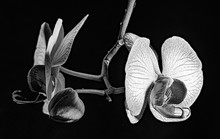 White Orchid On Black Backgrou...