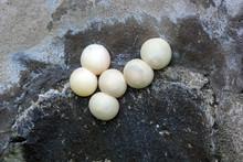 Laying Tokay Gecko White Eggs ...